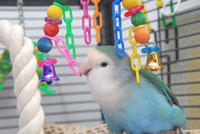 Lovebird Playing