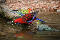 Drinking Rosellas