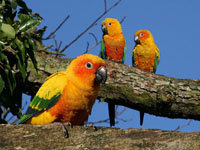 Outside Sun Conures