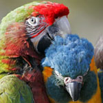 macaws150