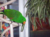 Ecelectus Parrot with indoor house Plants