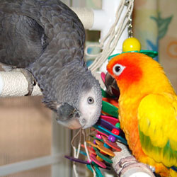 African Grey and Sun Conure