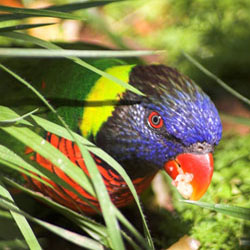 Parrots waste food when they forage