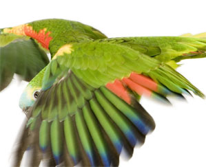 Clipping Parrots Wings