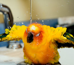 Sun Conure taking a bath