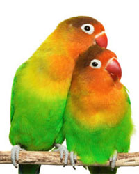 Fischer's Lovebirds