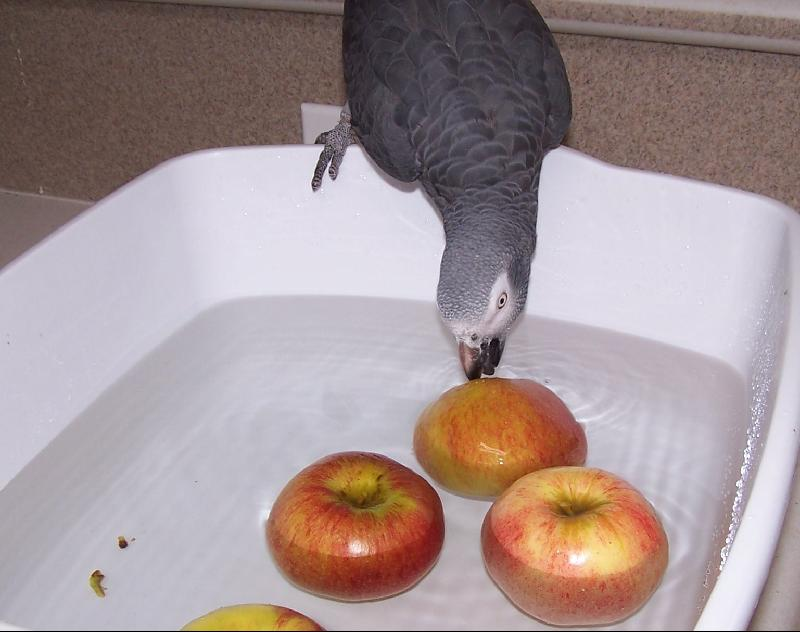 African Grey Bobbing for Apples