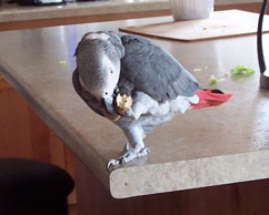 African Grey Playing with Cork