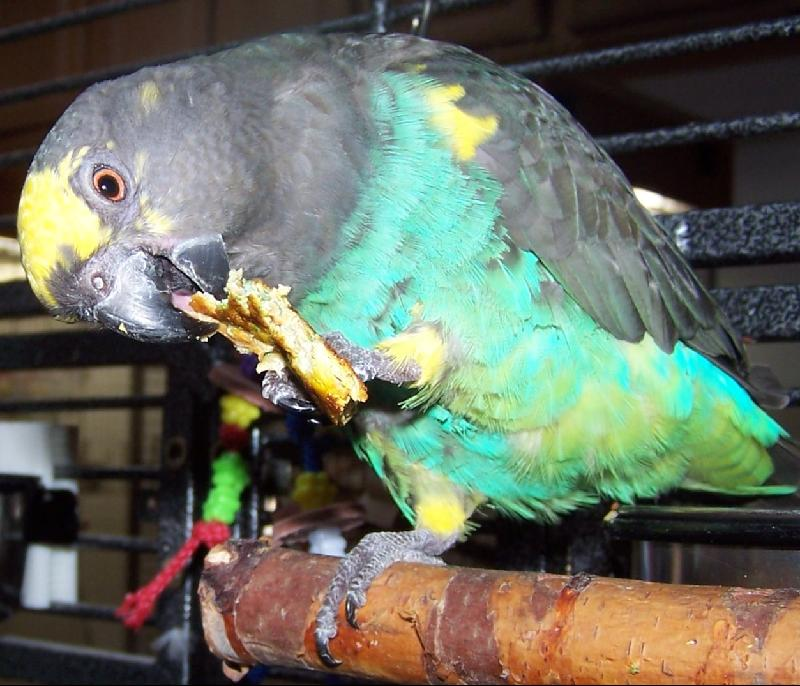 Snacking Parrot, Sprout Article