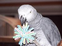African Grey with DIY Straw Foot Toy
