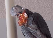 African Grey Plays with a Fortune Cookie