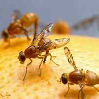 Bug Wars - Fruit Flies