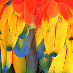 All About Parrot Feathers